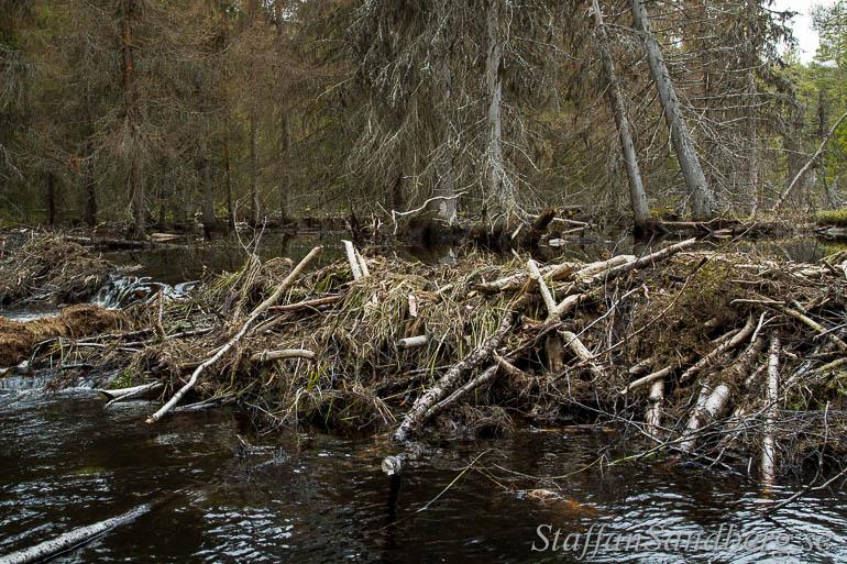 Bävern sätter tydliga spår i skogen med dammar och träd som har dött av stigande vatten.