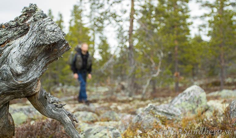 Få färska stubbar, men en  hel del gamla grå stubbar och döda träd vittnar om att det var länge sedan skogsarbetarna var här.
