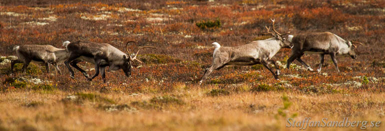 Bock jagar renar.