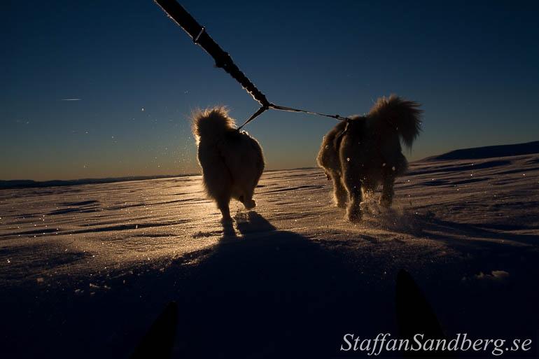 Hundar drar skidåkare