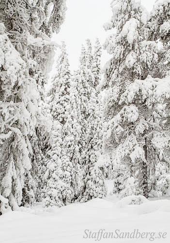 Snötyngda träd.
