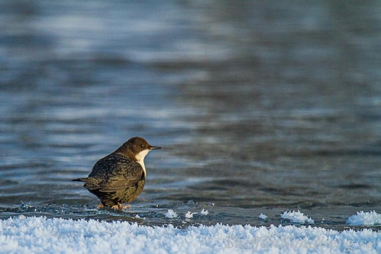 Strömstare på isen