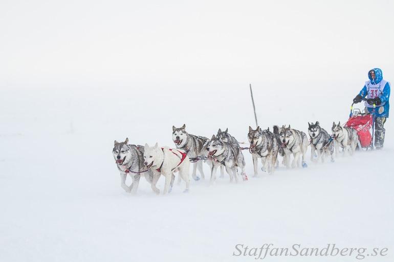 Hundspann i snödrev