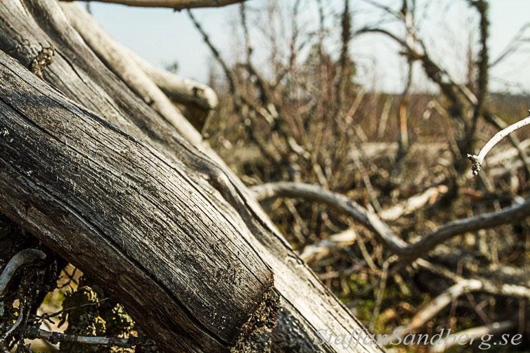 Många stammar och grenar ligger på marken efter branden och gör det svårt att ta sig fram.