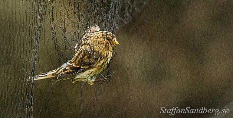 Fågel i nät