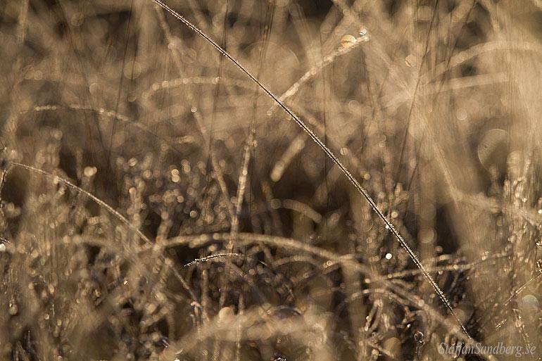 Frost i gräset