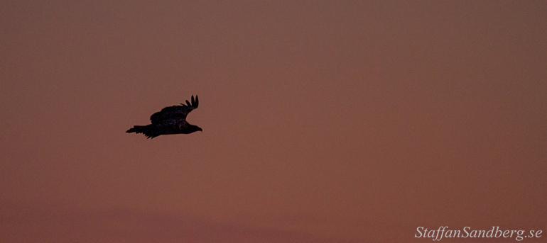 Örn i soluppgång