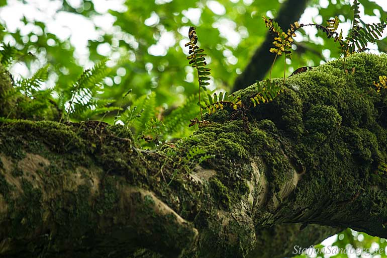 Ormbunkar på träd.